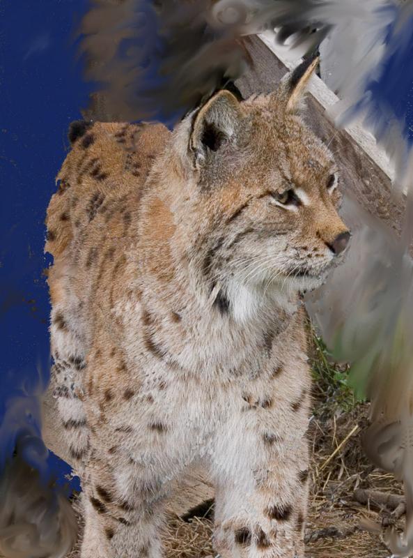 Captured Lynx