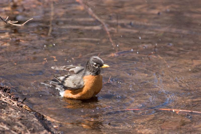 Preswim Mode Robin