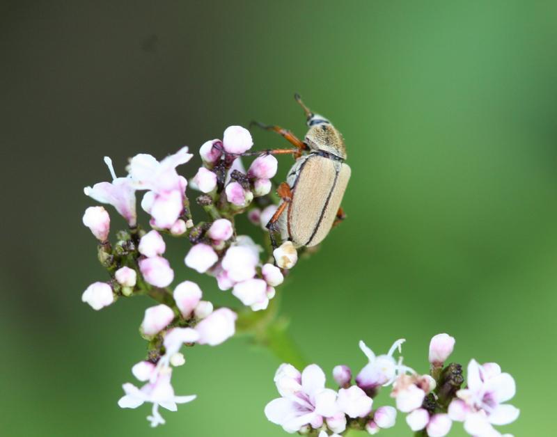 Hoplia, family Scarabaeidae