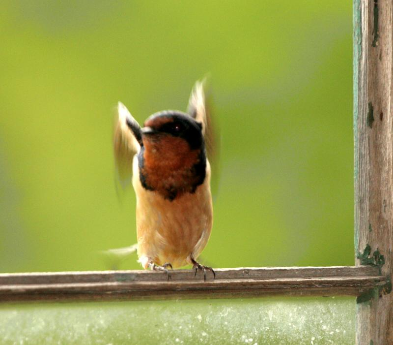 Mother barn swallow