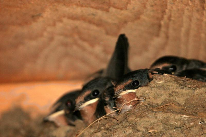 Newborn barn swallows
