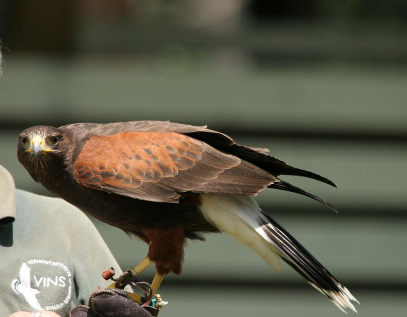 Harriss Hawk