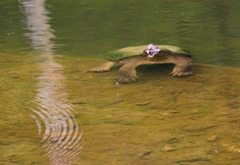 Snapper on Rock in Pond