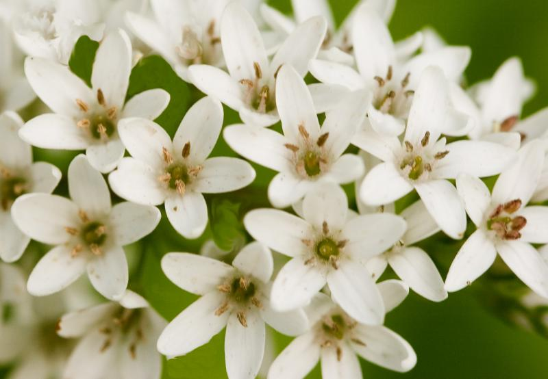 White Loosestrife