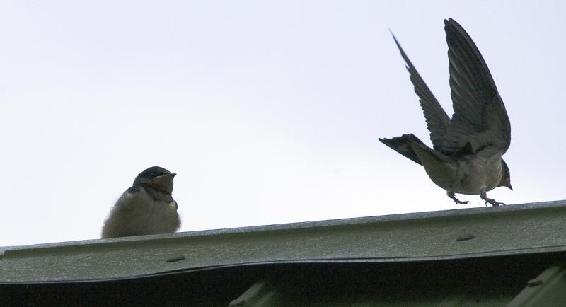 Barn Swallows JUMP!