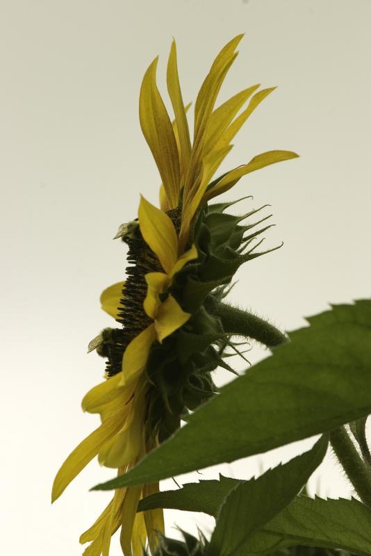 Sunflower edges