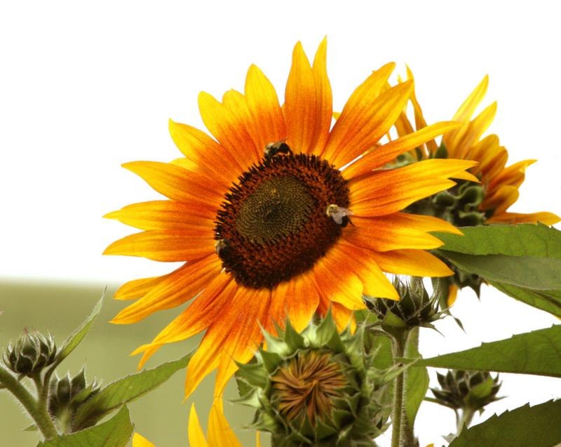 Three bees and sunflower