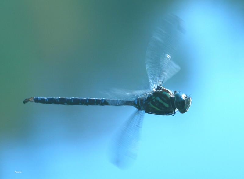 Hovering Blue Eyed Darner