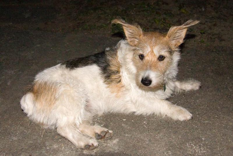 Wired Haired Jack Russell: Pebbles