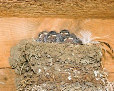 Aug 20 Garage Baby Swallows