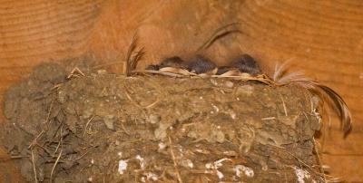 Sleeping Baby swallows
