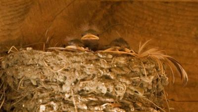 Fuzzy head Swallows