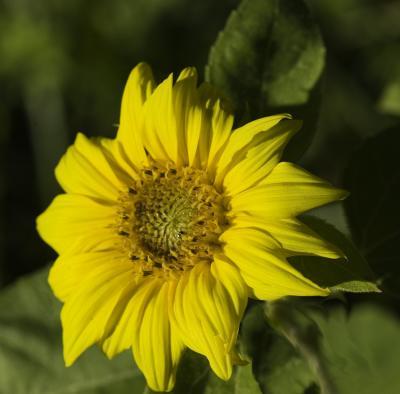 Soft Yellow Sunflower