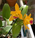 Cattleya Gold Orchid