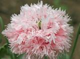 Fluffier poppy