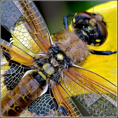 Four Spotted Chaser - Male Teneral