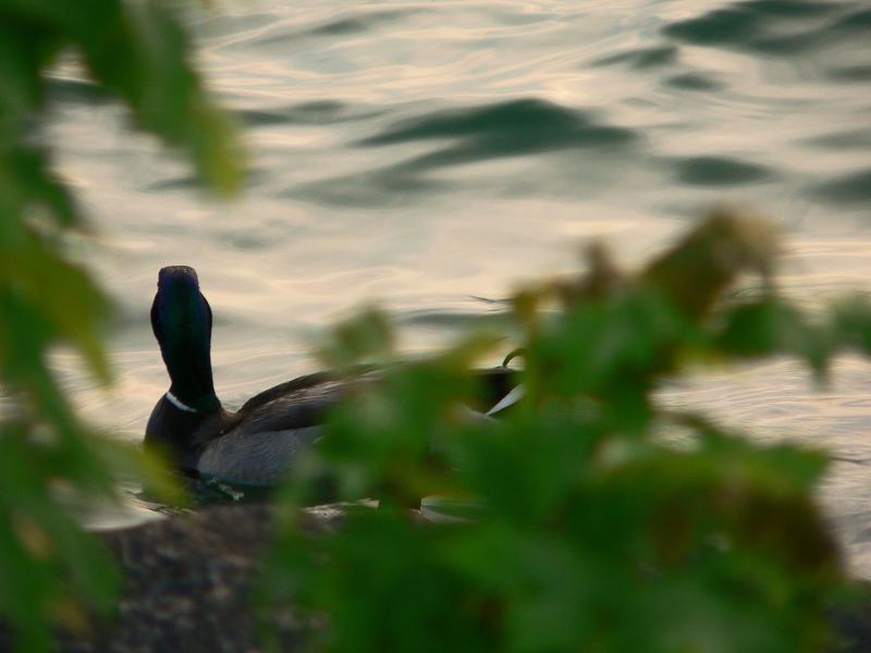 Teal Duck at Port Dalhousie Ontario 001.jpg