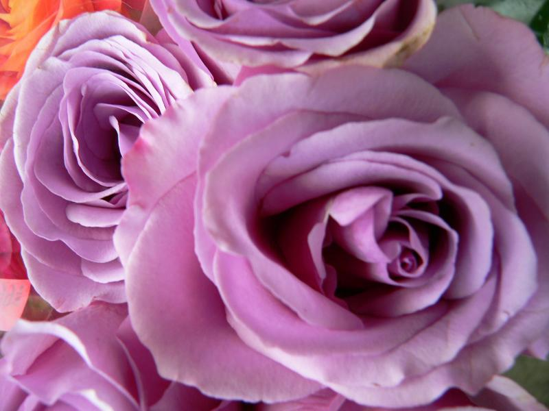 The beauty of the rose...
