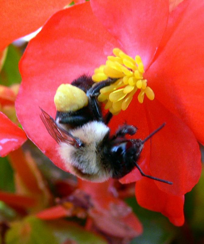 Pollen collector at work....