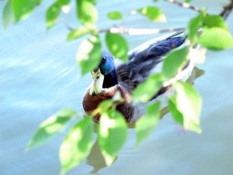 Hide and seek..... duck version
