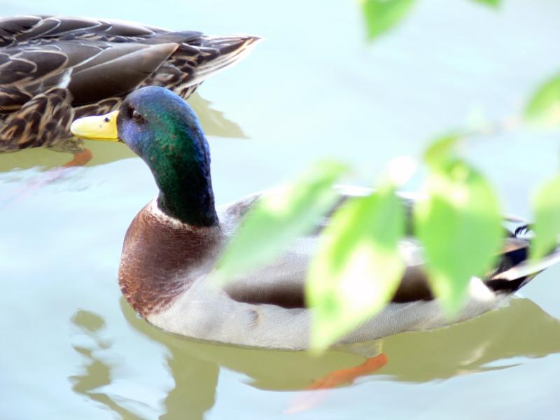 Ducks on the water....