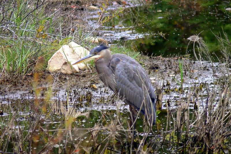 Great Blue Heron in Algonquin Park