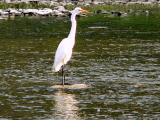 Heron at Etienne Brule Park, Toronto.