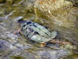 Turtle in the Humber River at Binder & Twine Park.