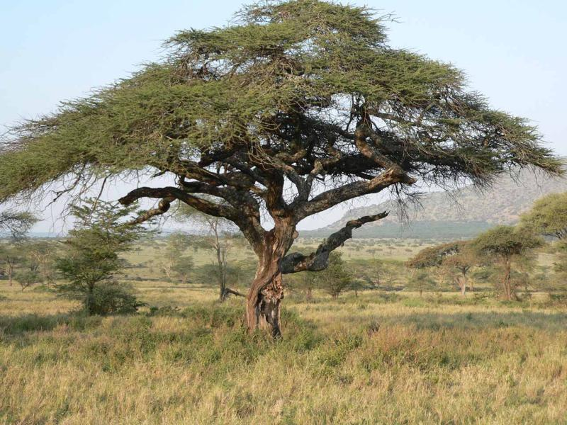 leopard tree.jpg