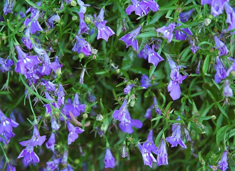 Lobelia, the color Violet
