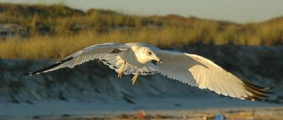 ring-billed gull at sunset