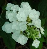 White, Hydrangea, Hydranger