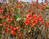 winter beach berries