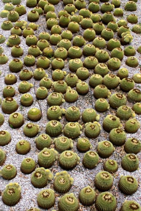 Getty Center - Barrel Cactus