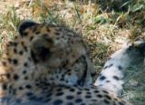 Lazy cheetah