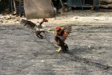 Cock fight: Ban Dom Kirek