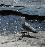 x-Seagull.jpg