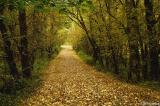Paved with golden leaves #2