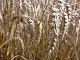 Late harvest I