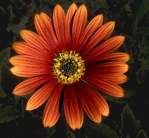 04-9 African Daisy.jpg