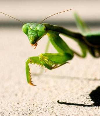 05-11 Praying Mantis 01.jpg