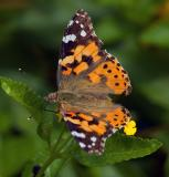 Painted Lady - (Vanessa cardui)