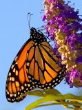 Monarch - (Danaus plexippus)