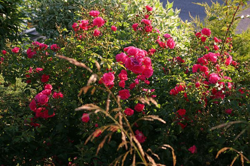Rosa Emera et Deschampsia caespitosa