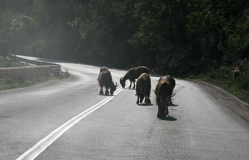near Trebinje,attention! goats on the street,Bosnia