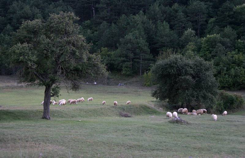 near Trebinje,flocks of sheep