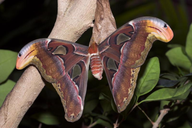 Mega Moth