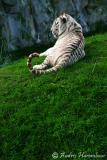tigre-7.jpg