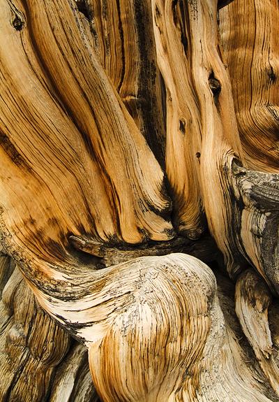 Bristle Pine Wood Closeup