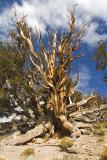 Ancient Bristle Pine